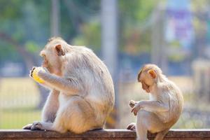 madre y bebé mono comiendo maíz fresco foto