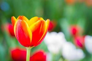 Tulipán rojo en un jardín con copyspace derecho foto