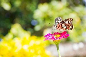 Butterfly on pink flower in tropical garden. Thailand photo