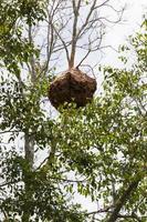Nido de avispas de papel cuelga de un árbol en el bosque, Tailandia foto