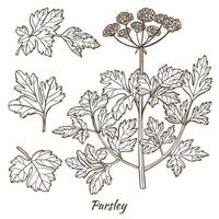 Parsley Plant and Leaves in Hand Drawn Style vector