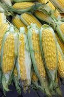 maíz vegetal crudo orgánico foto