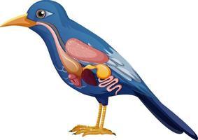 Internal anatomy of bird with organs vector