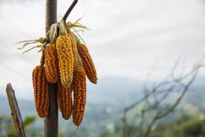 maíz orgánico, agricultura egipcia, ganadería foto
