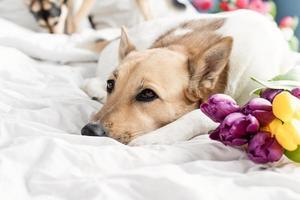 lindo perro acostado en la cama con un ramo de tulipanes foto