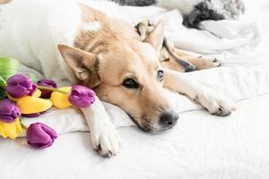 Tres perros acostados en la cama en casa con un ramo de tulipanes. foto