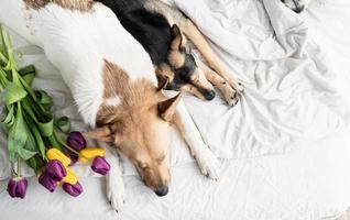 dos perros acostado en la cama en casa con un ramo de tulipanes foto