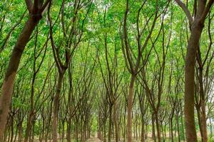 árbol de caucho verde foto