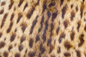 background of tiger skin and hairs photo