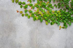 Coatbuttons or Mexican daisy on concrete wall, copyspace photo