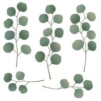 eucalyptus leaves and branches vector illustrations