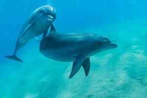 Dolphin swimming in the Red Sea, Eilat Israel photo