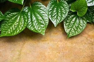 Leaves of Piper sarmentosum photo