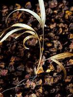 Pequeñas palmeras secadas en tierra de grava foto