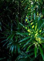 Superficie de hojas tropicales en tono oscuro como fondo de bosque abundante foto