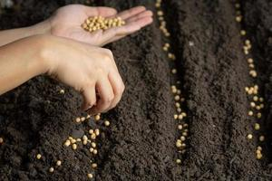 woman planting soybeans in fertile soil Space for text. photo