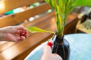 senior woman cut dead leaf of decorating plant in garden photo