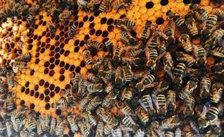 La estructura hexagonal es un panal de abejas de una colmena llena de miel dorada. foto