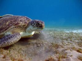 Big Green turtle on the reefs of the Red Sea. photo