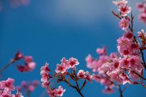 hermosa sakura o flor de cerezo en primavera foto