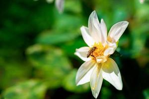 miel de abeja sentada en la flor blanca foto