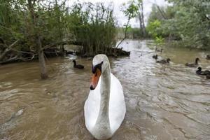ganso en el lago foto