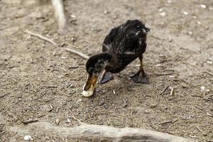 patos comiendo pan foto