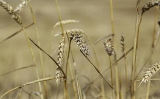 Wheat in a wheat field photo