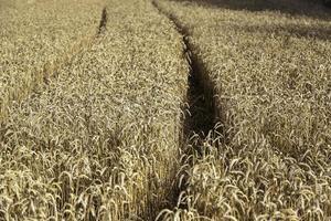 Wheat field with car tracks photo