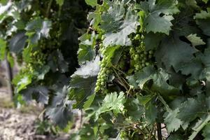 Grapes in a vines photo