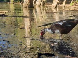 El pato se alimenta en el lago athalassa contra hermosos reflejos de corteza de árbol foto