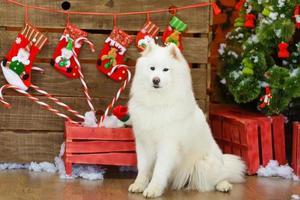 Sitting samoyed dog with Christmas decorations on background photo