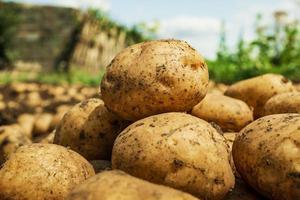 Cerca de patatas frescas orgánicas. cosecha de patatas. foto