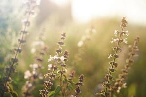 Dandelion flowers,  Golden rays of the sun. photo