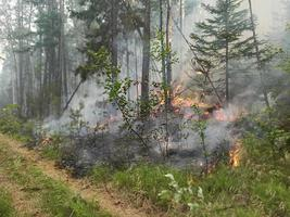 Forest fire. Forest burning in Yakutia. dangerous spontaneous natural photo