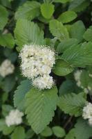 White viburnum flowers among green leaves photo