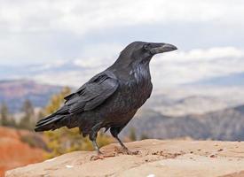 Common Raven on a rock ledge photo