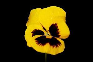 Viola flower blossom family violaceae close up botanical print photo