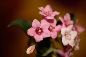flor, flor, cerca, weigela, florida, familia caprifoliaceae foto