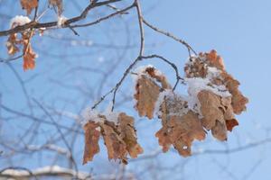 una rama con una hoja de roble marrón seca y muerta en el frío foto