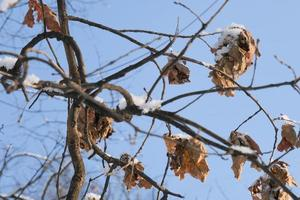 a branch with a dry and dead brown oak tree leaf on the cold photo