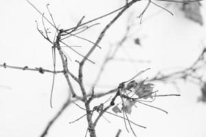 snow covered dry dead tree branches close-up in cold winter weather photo