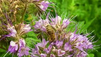 Winged bee slowly flies to the plant video