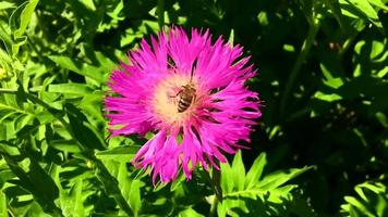 Winged bee slowly flies to the plant collect nectar video