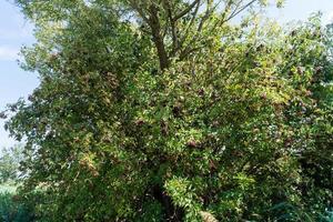 a tree with elderberries photo