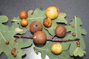 Cynips quercusfolii bolas biliares en hoja de roble foto