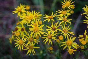 flor amarilla senico jacobaea foto