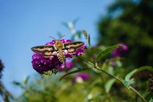 Bedstraw hawks Hyles gallii on the purple butterfly bush photo