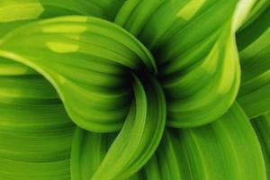 Natural background of fresh green leaves swirling in a spiral. photo