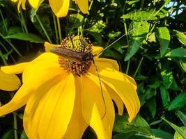 Moschusbock aromia moschata a longhorn beetle in the garden photo
